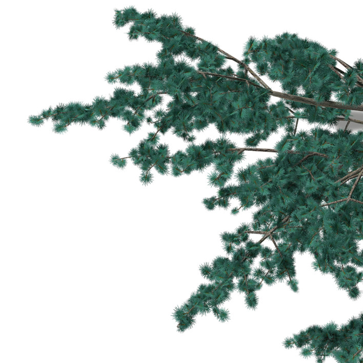 3d Blue Atlas Cedar