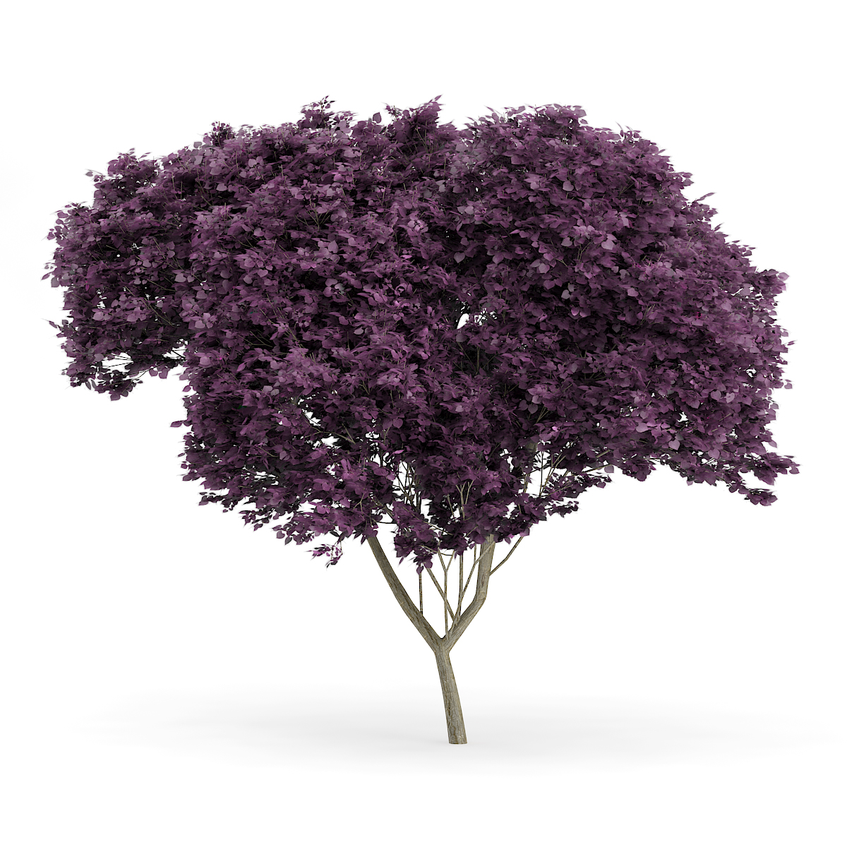 Eastern Redbud Cercis Canadensis 8 5m Cgaxis 3d Models Store