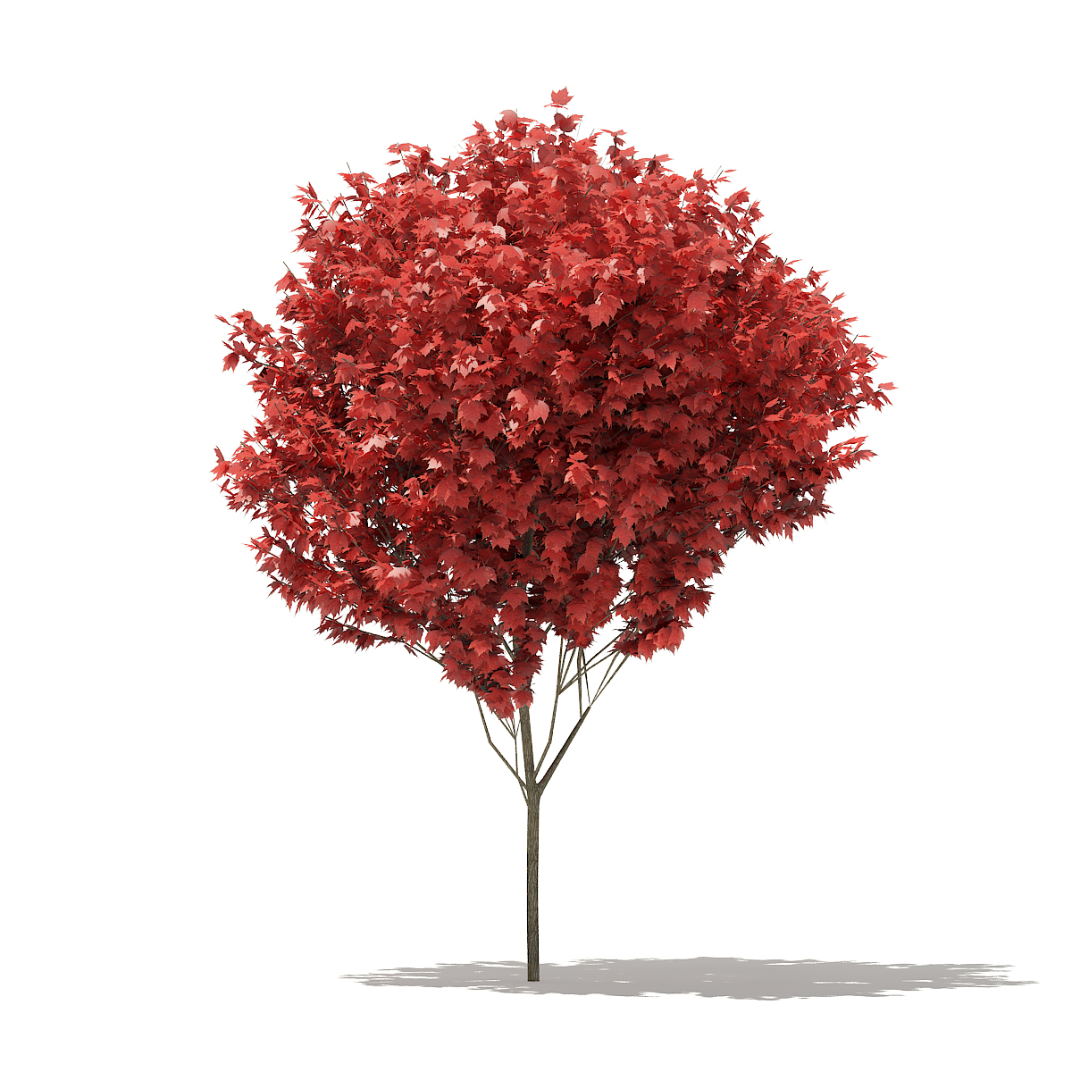 Red Maple Acer Rubrum 5m Cgaxis 3d Models Store