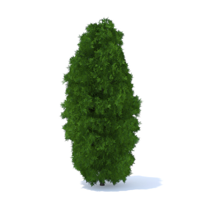 Thuja Shrub 3D Model