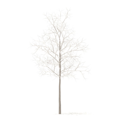 Sugar Maple with Snow 3D Model 2.9m