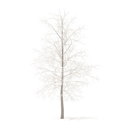 Sugar Maple with Snow 3D Model 4.2m