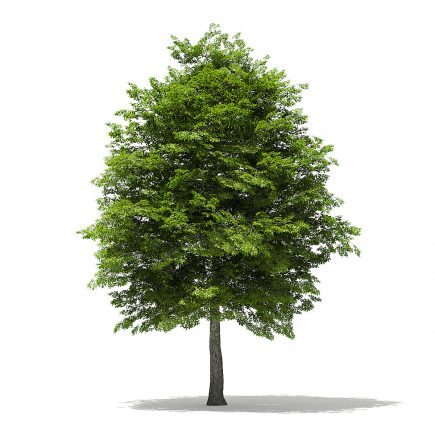 Scotch Elm 3D Model 11.6m
