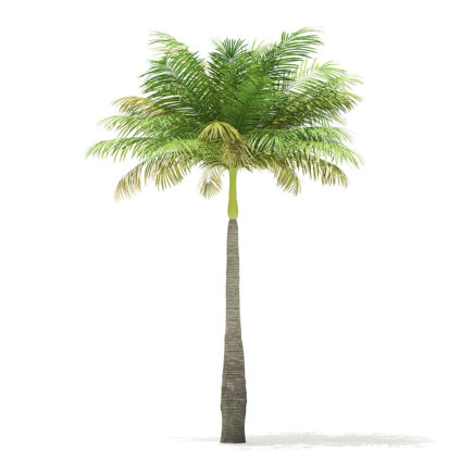 Bottle Palm Tree 3D Model 5.2m