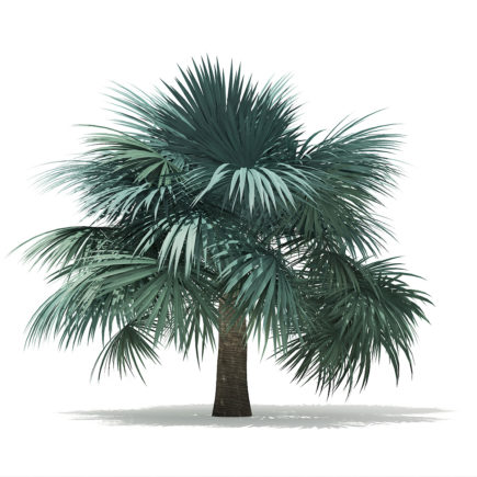 Silver Fan Palm Tree 3D Model 3.9m