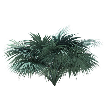 Silver Fan Palm Tree 3D Model 2.6m