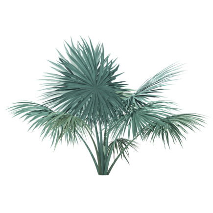 Silver Fan Palm Tree 3D Model 2m