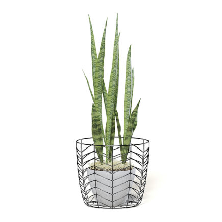 Snake Plant 3D Model in White Pot