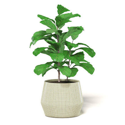 Fig Plant 3D Model in Wicker Basket