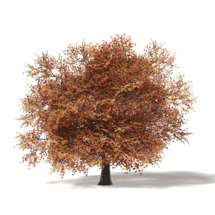 Sugar Maple 3D Model 10.4m