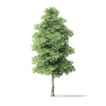Red Alder Tree 3D Model 7.2m
