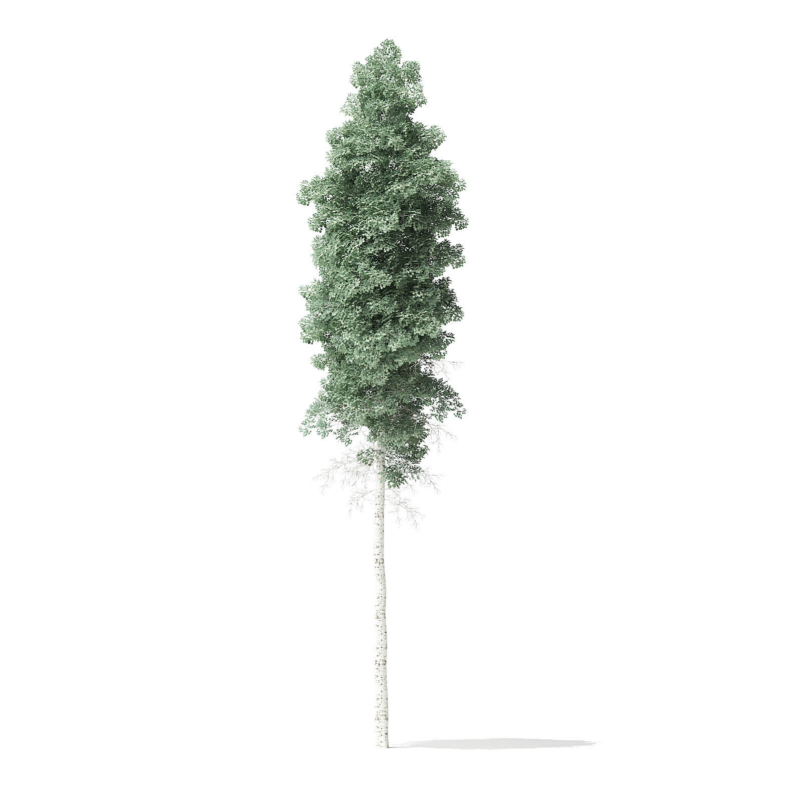 Quaking Aspen Tree 3D Model 11m