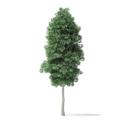 Boxelder Maple Tree 3D Model 6.2m