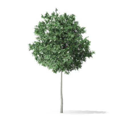 Boxelder Maple Tree 3D Model 5.8m