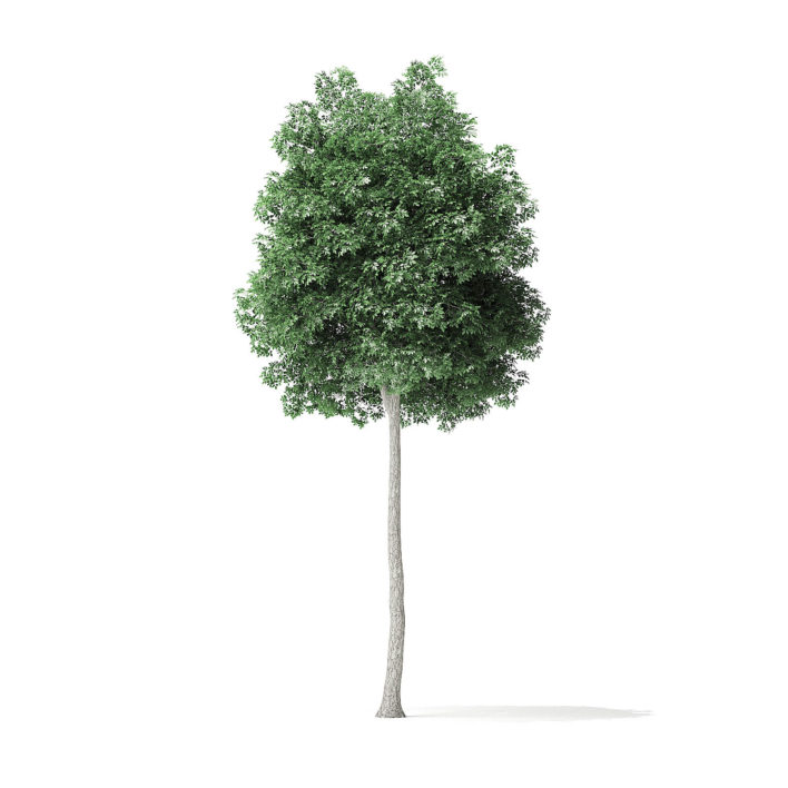 Boxelder Maple Tree 3D Model 7.6m
