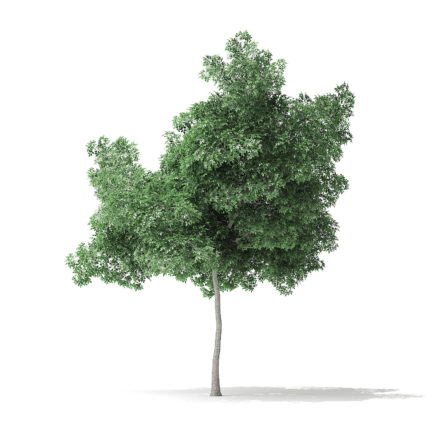 Boxelder Maple Tree 3D Model 5.6m