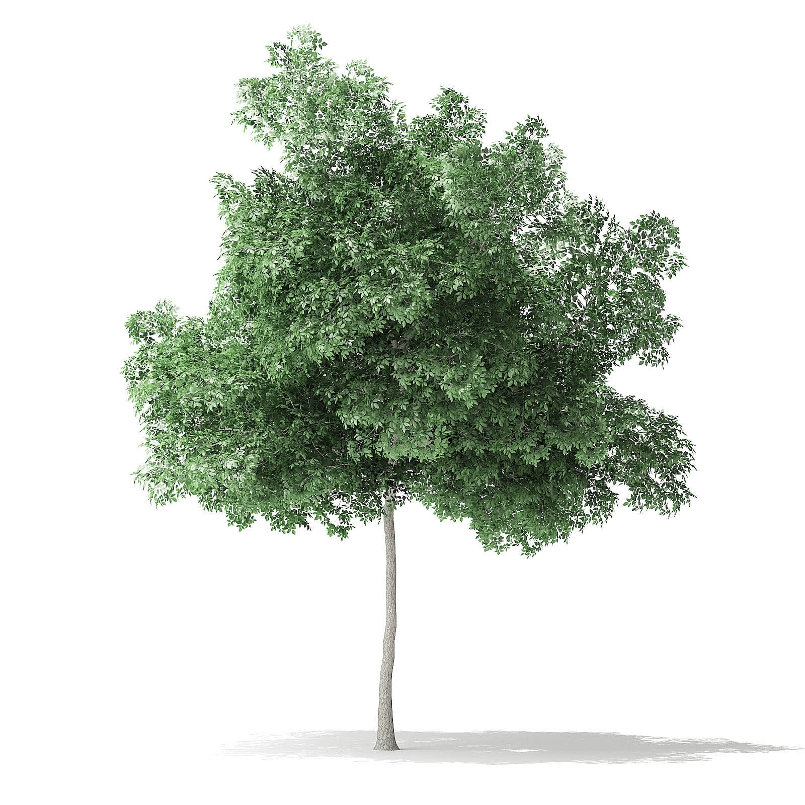 Boxelder Maple Tree 3D Model 8m